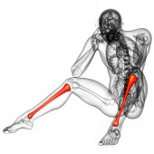 3d render medical illustration of the tibia  — Stock Photo