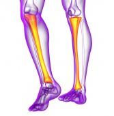 3D vykreslení lékařské ilustrace holenní kosti — Stock fotografie