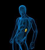 3d illustration médicale de rendu de la rate — Photo