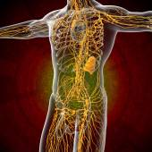 3d render illustration of the male lymphatic system  — Стоковое фото