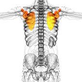 3d render medical illustration of the scapula bone — Stockfoto