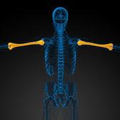 3d render medical 3d illustration of the humerus bone — Stock Photo