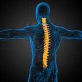 3d render ilustrações médicas da coluna vertebral humana — Fotografia Stock
