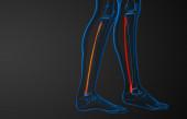 3d rendered illustration of the fibula bone  — Stock Photo