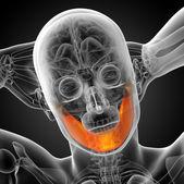 3d gerenderten abbildung - kieferknochen — Stockfoto