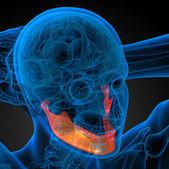 3d rendered illustration - jaw bone — Stock Photo