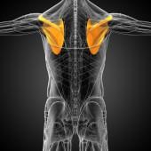 3d render medical illustration of the human scapula bone — Stock Photo