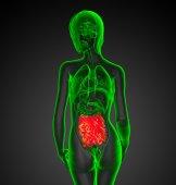 3d renderad bild av manliga tunntarmen — Stockfoto