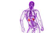 3d render medical illustration of the human kidney — Stock Photo