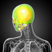 3d render medical illustration of the skull — Stock Photo