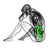 3d render medical illustration of the human larg intestine — Stock Photo