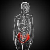 3D medical illustration of the pelvis bone — Stock Photo