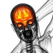 3D medical illustration of the brain   — Stock fotografie