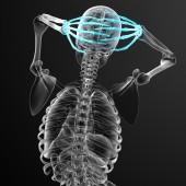 3D визуализация Иллюстрация Скелет руки — Стоковое фото