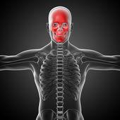 3d render medical illustration of the skull — 图库照片