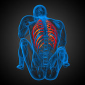 3d render medical illustration of the ribcage  — Stock Photo
