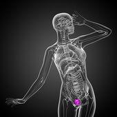 3d render medical illustration of the bladder  — Stock Photo