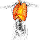 3d render medical illustration of the human respiratory system — Stock fotografie