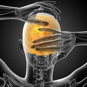 3d render medical illustration of the upper skull  — Stockfoto
