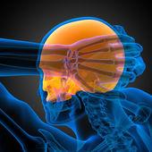 3d illustration médicale de rendu du crâne supérieur — Photo