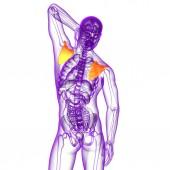 3d render medische illustratie van het schouderblad bot — Stockfoto