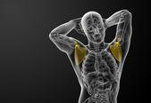 3d render medical illustration of the scapula bone  — Stok fotoğraf