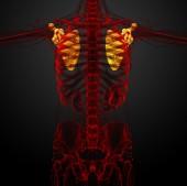 3d render medical illustration of the scapula bone — Stock Photo