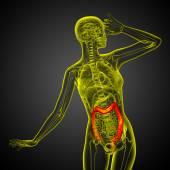 Human digestive system large intestine — Stock Photo