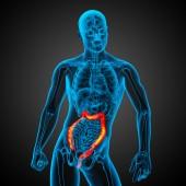 人間の消化器系の大きい腸 — ストック写真