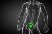 3d render medical illustration of the sacrum bone — Stock Photo