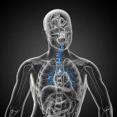 3d medische illustratie van de mannelijke bronchiën — Stockfoto