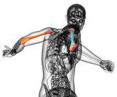 3d vykreslení lékařské ilustrace pažní kosti — Stock fotografie