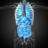 3d render medical illustration of the human digestive system and — Stock Photo