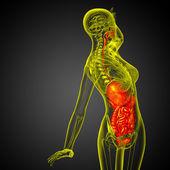 3d render medical illustration of the human digestive system  — ストック写真