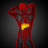 3d render medical illustration of the liver  — ストック写真