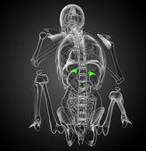 3d render medical illustration of the spleen  — Stock Photo