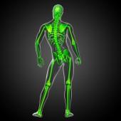 3d render medical illustration of the skeleton bone  — Stockfoto