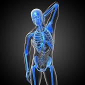 3d render medical illustration of the skeleton bone  — Stock Photo