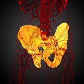 3D medical illustration of the hip bone — Stock Photo