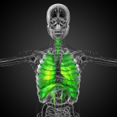3d rendered illustration of the respiratort system — Stock Photo