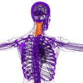 3d render medical illustration of the cervical spine — Photo