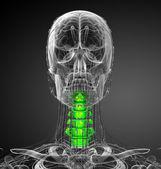 Illustrazione medica di rendering 3D del rachide cervicale — Foto Stock