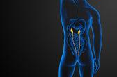 3d render medical illustration of the ureter — Stock Photo