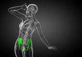 3d медицинской иллюстрации кости таза — Стоковое фото