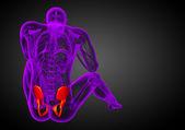 3D medical illustration of the pelvis bone  — Stockfoto