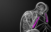 3d render medical illustration of the ulna bone — Stock Photo