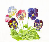 Bouquet of color Pansy — Stock fotografie