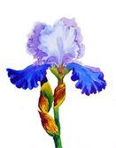 Iris with blue  petals  — Stock Photo