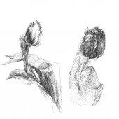 тюльпан цветы эскиз — Cтоковый вектор