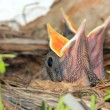 Baby birds in nest with mouths open — Stock Photo #55326885